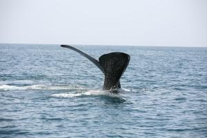 Baleine franche