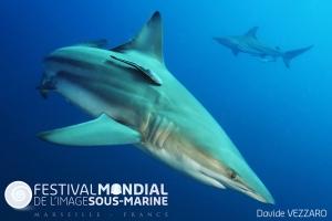 Aliwal Shoal  - South Africa Black Tip reef shark - Carcharhinus limbatus