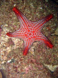Costa Rica Isla Tortuga Dive Snorkeling Seestern 2 19112010 - copie