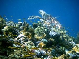 tortue imbriquée (2)