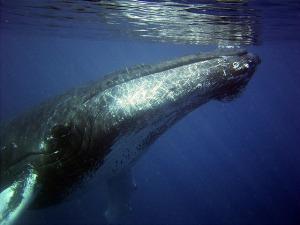 humpback-79855_640