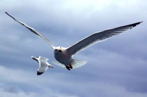 Cap sur les Sept Iles Gros plan sur une mouette. . Une experience bretonne