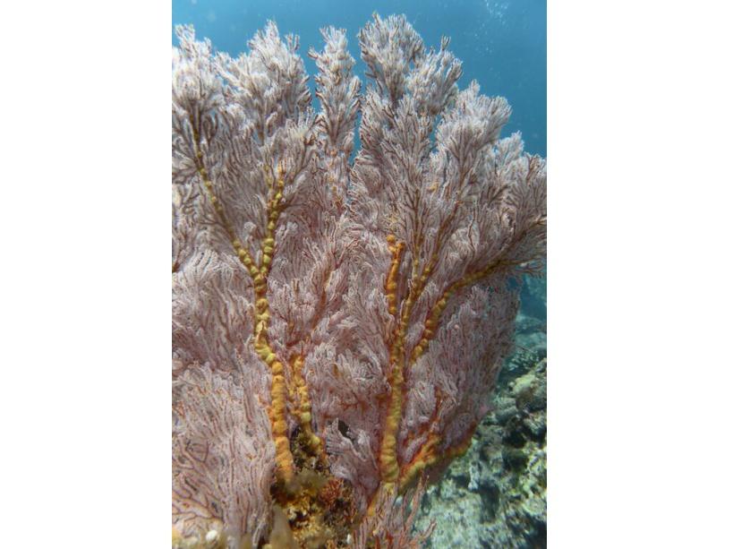 Corail du genre Melithaea.