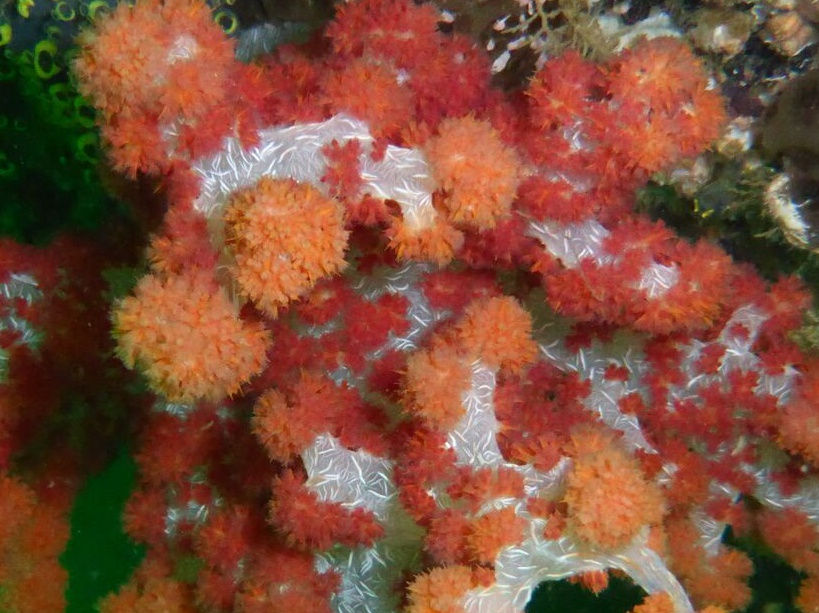 Corail du genre Dendronephthya.