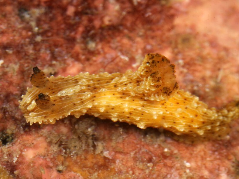 Limace de mer du genre Polycera.