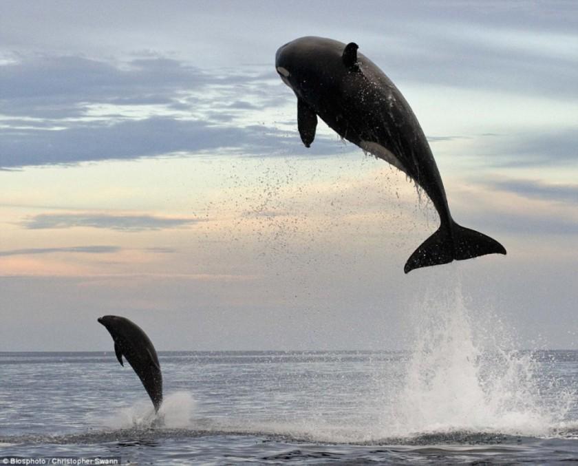 baleines-dauphins-christopher-swann-5