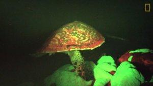 Une tortue fluorescente.