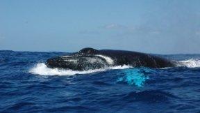 La baleine à bosse est souvent observée lors des campagnes scientifiques.