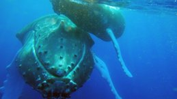 la tête de la baleine à bosse est couverte de nombreuses excroissances dont une très caractéristique située sous le menton et souvent incrustée de balanes