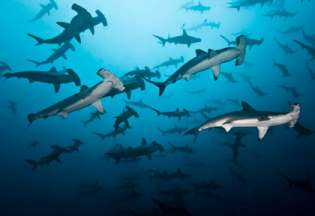bonplan_image_costa_rica_plongee_undersea_hunter_coco_island_hammer_heards_school_alcyone_herreno.jpg